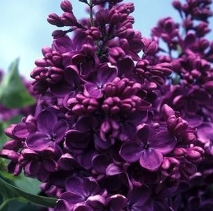 Yankee Doodle Lilac features showy panicles of fragrant purple flowers rising above the foliage in mid spring, which emerge from distinctive deep purple flower buds. The flowers are excellent for cutting. It has bluish-green foliage throughout the season.